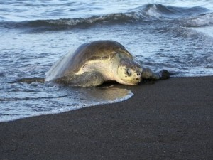sea_turtles_3